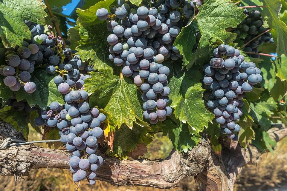 Tempranillo ist eine spanische Rotweintraube.